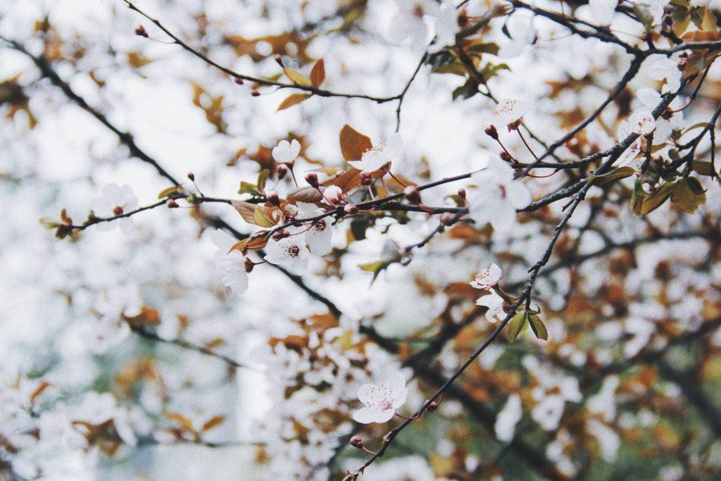 Fleurs roses de cerisier japonais du jardin japonais parc Nantes